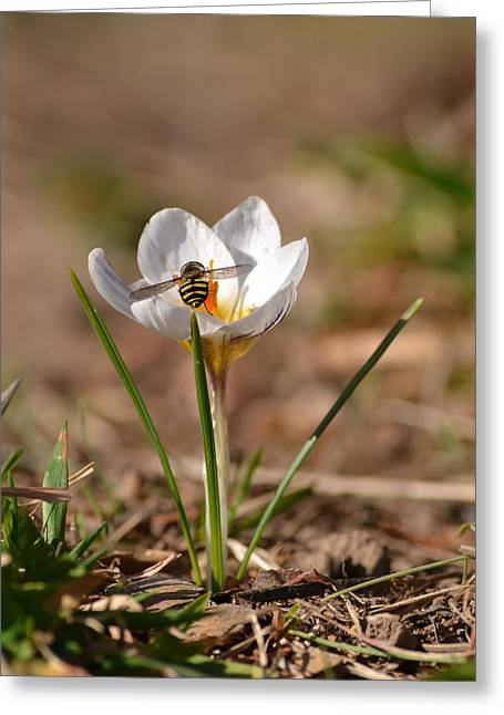 J.d. Grimes Greeting Cards - Hoverfly Visitng a Crocus Greeting Card by JD Grimes