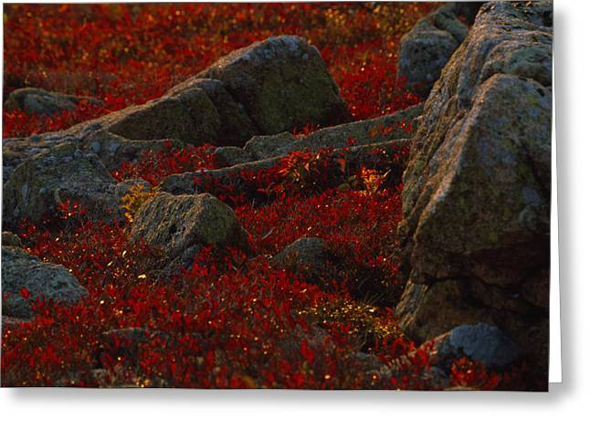 Huckleberry Bushes And Multi-hued Greeting Card by Michael Melford