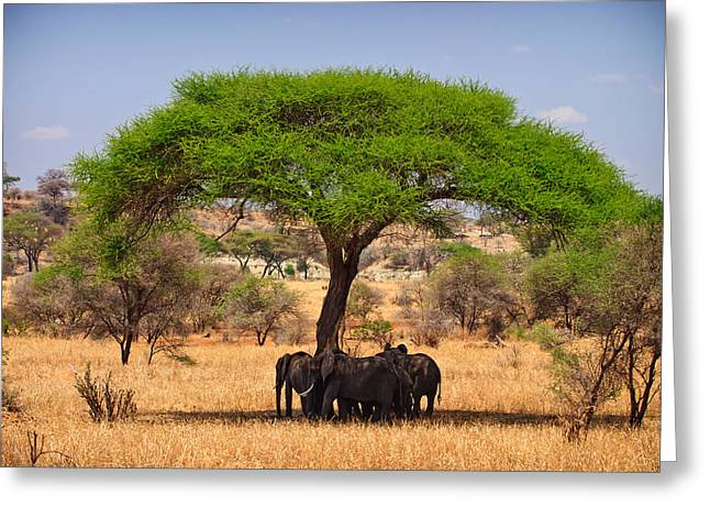 Elephant Photographs Greeting Cards - Huddled in Shade Greeting Card by Adam Romanowicz