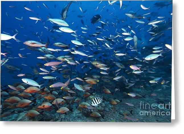 Undersea Photography Greeting Cards - Huge School Of Reef Fish Off The Coast Greeting Card by Terry Moore