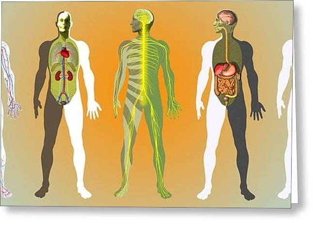 Biological Greeting Cards - Human Anatomy ,artwork Greeting Card by Mehau Kulyk