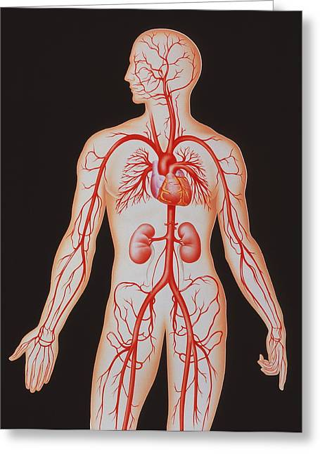 Human Arterial System Greeting Card by John Bavosi