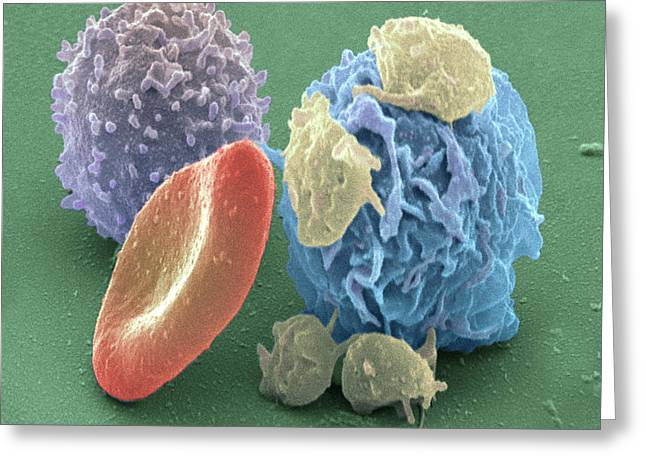 Component Greeting Cards - Human Blood Cells, Sem Greeting Card by Steve Gschmeissner