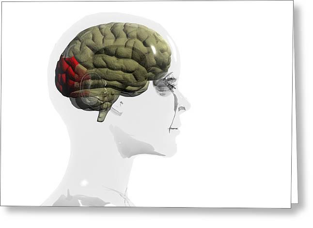 Discrimination Greeting Cards - Human Brain, Occipital Lobe Greeting Card by Christian Darkin