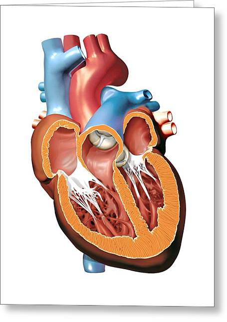 Aorta Greeting Cards - Human Heart Anatomy, Artwork Greeting Card by Jose Antonio PeÑas