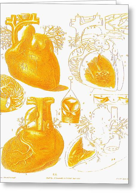 Healthy Greeting Cards - Human Heart Greeting Card by Mehau Kulyk