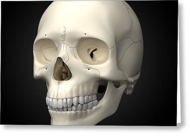 Osteology Greeting Cards - Human Skull, Artwork Greeting Card by Visual Science