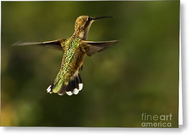 Trochilidae Greeting Cards - Hummer Greeting Card by Robert Bales