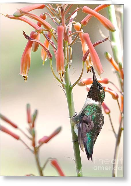 Hummingbirds Greeting Cards - Hummer Stands and Sips Greeting Card by Wayne Nielsen