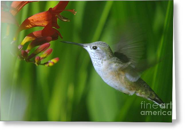 Migratory Bird Greeting Cards - Humming bird  Greeting Card by Jeff  Swan