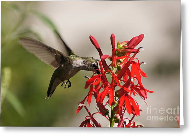 Reflections Of Infinity Llc Greeting Cards - Hummingbird and Cardinal Flower 8069-1 Greeting Card by Robert E Alter Reflections of Infinity