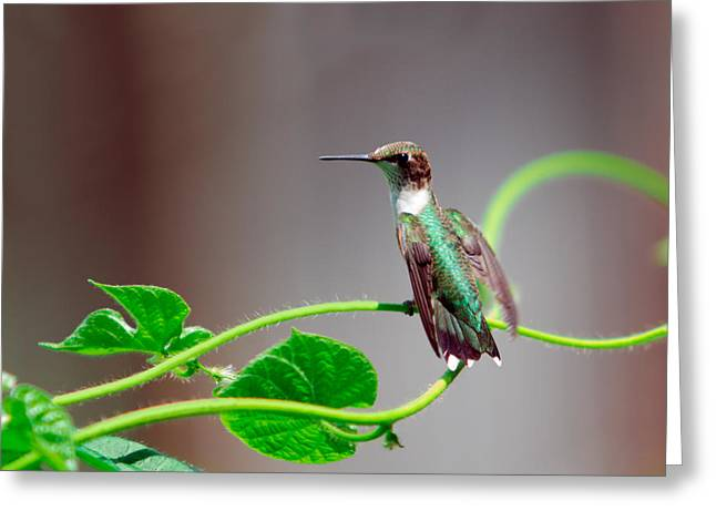Pause Greeting Cards - Hummingbird Balancing on Glory Vine Greeting Card by Shelle Ettelson