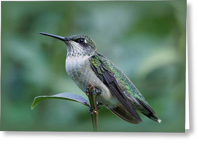 Indiana Art Greeting Cards - Hummingbird Close-up Greeting Card by Sandy Keeton