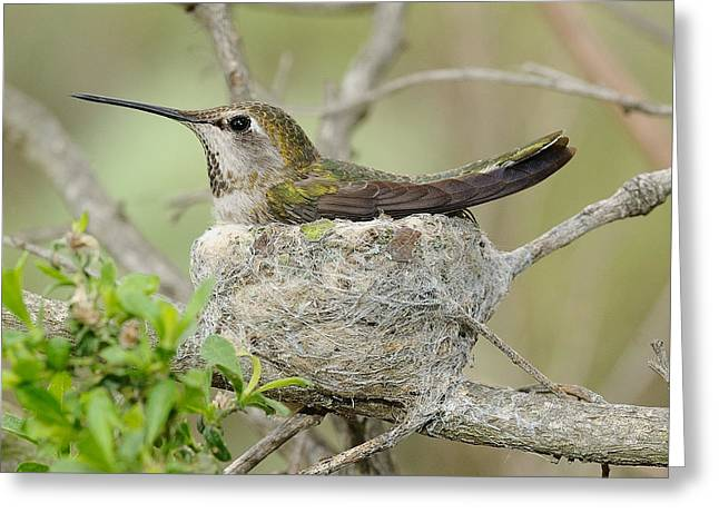 Mother Sculptures Greeting Cards - Hummingbird In A Nest Greeting Card by Clarence Alford
