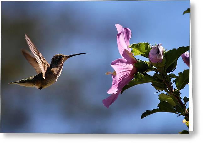 Karen Scovill Greeting Cards - Hummingbird Greeting Card by Karen M Scovill