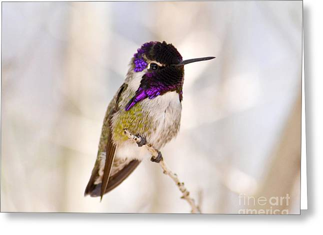 Bird Pictures Greeting Cards - Hummingbird Greeting Card by Rebecca Margraf