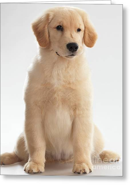 Full-length Portrait Photographs Greeting Cards - Humorous Photo of Golden Retriever Puppy Greeting Card by Oleksiy Maksymenko
