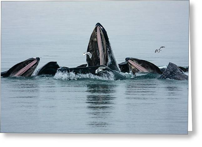 Up201209 Greeting Cards - Humpback Bubble Net Greeting Card by Josh Whalen