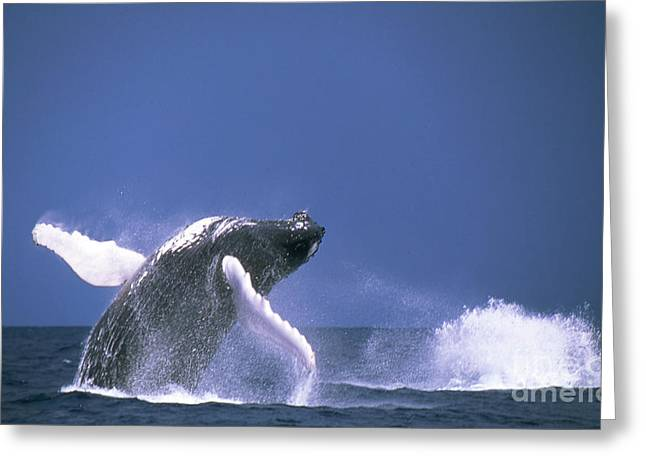 Emergence Greeting Cards - Humpback Whale Breaching Off Silver Greeting Card by Beverly Factor