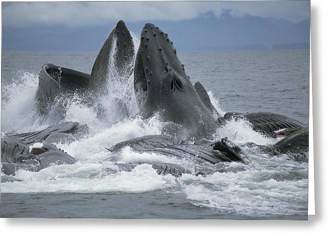 Cooperation Greeting Cards - Humpback Whale Cooperative Gulp Feeding Greeting Card by Flip Nicklin