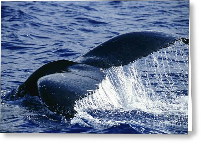 Emergence Greeting Cards - Humpback Whale Tail Off The Island Greeting Card by Beverly Factor