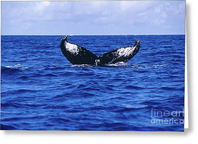 Emergence Greeting Cards - Humpback Whale Tail Off The Silver Greeting Card by Beverly Factor