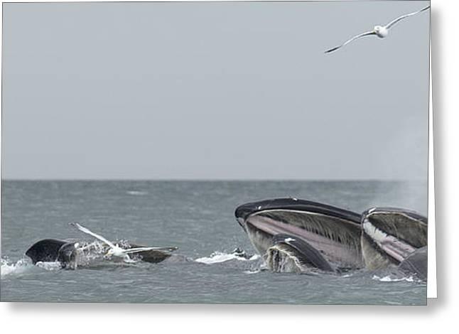 Tern Greeting Cards - Humpbacks Breeching Greeting Card by Nathan Mccreery