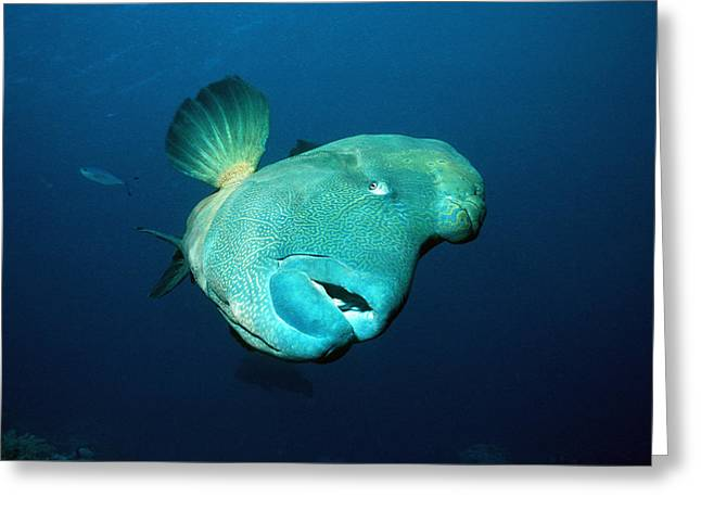 Reef Fish Greeting Cards - Humphead Wrasse Greeting Card by Georgette Douwma