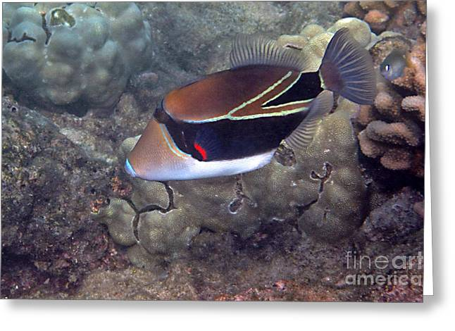 Reef Fish Greeting Cards - Humuhumu-nukunuku-a-puaa Greeting Card by Bette Phelan