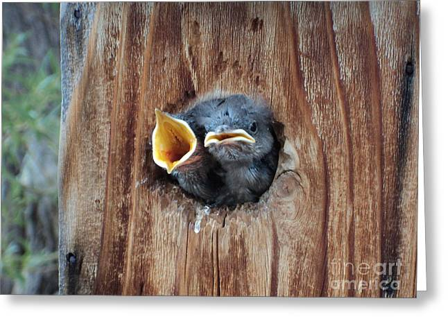 Hungry Chicks Greeting Cards - Hungry Birds Greeting Card by Dirk Barnhart