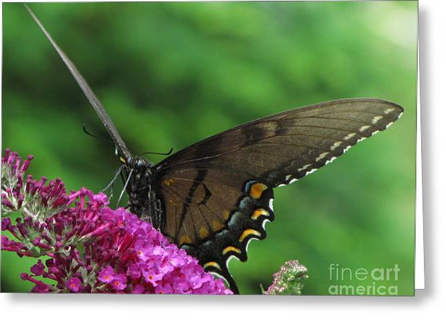 Butterlfy Greeting Cards - Hungry Butterfly  Greeting Card by Tom Carriker