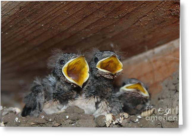 Hungry Cute Little Baby Birds  Www.pictat.ro Greeting Card by Preda Bianca Angelica