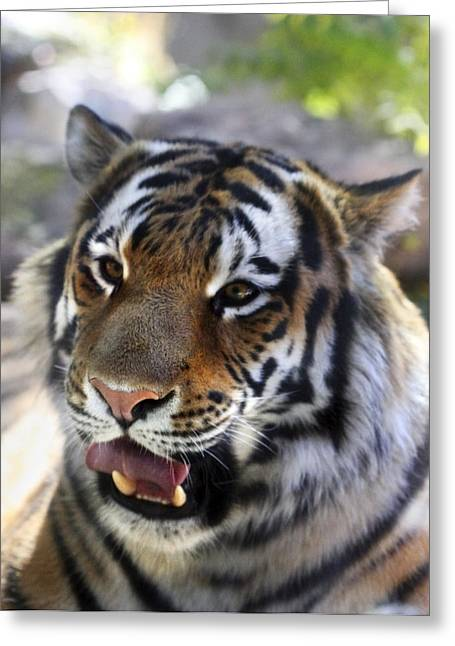 Fur Stripes Greeting Cards - Hungry Eyes Greeting Card by Marilyn Hunt