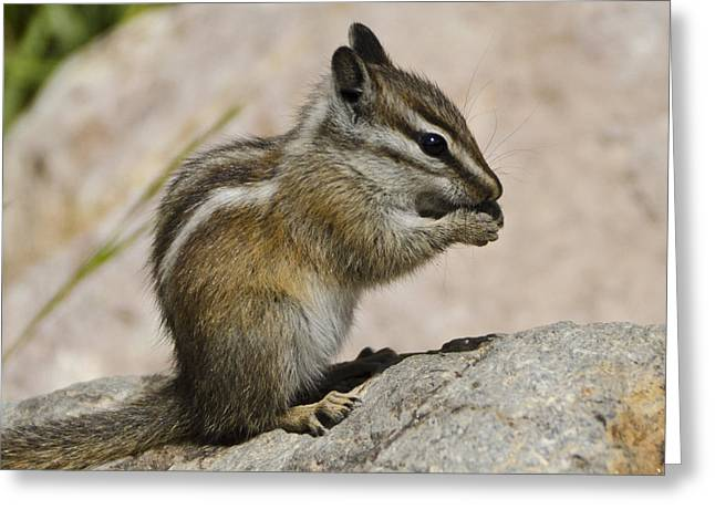 Chipmunk Greeting Cards - Hungry Greeting Card by Jon Berghoff