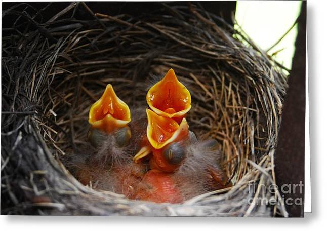 Hungry Chicks Greeting Cards - Hungry Robins Greeting Card by Crissy Sherman