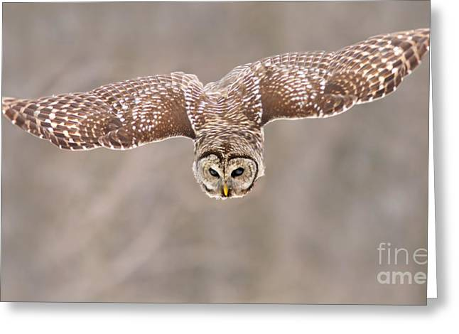 Raptor In Flight Greeting Cards - Hunting Barred Owl  Greeting Card by Mircea Costina Photography