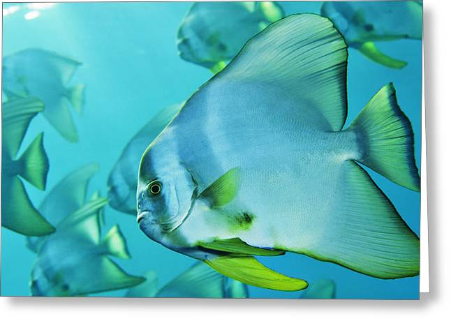 Spadefish Greeting Cards - Hunting For Plankton, A School Greeting Card by Brian J. Skerry
