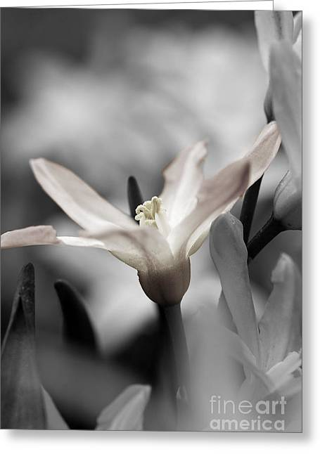 Spring Bulbs Greeting Cards - Hush Greeting Card by Catherine Fenner