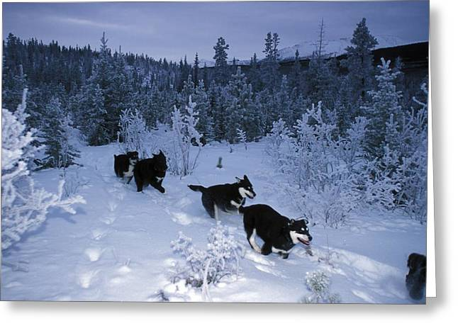 Husky Greeting Cards - Huskie Pups Out For A Run In The Snow Greeting Card by Paul Nicklen
