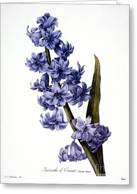 1833 Greeting Cards - Hyacinth Greeting Card by Granger