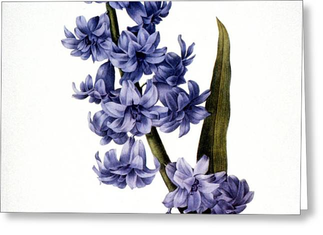 HYACINTH Greeting Card by Granger