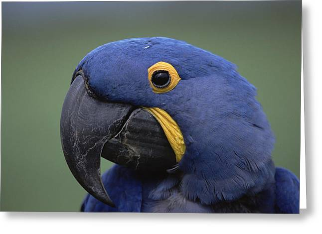 Macaw Profile Greeting Cards - Hyacinth Macaw Anodorhynchus Greeting Card by Konrad Wothe