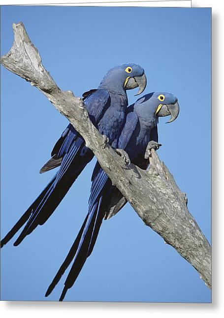 Hyacinth Macaw Greeting Cards - Hyacinth Macaw Anodorhynchus Greeting Card by Tui De Roy