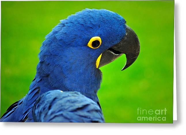 Hyacinth Macaw Greeting Cards - Hyacinth Macaw Greeting Card by Gwyn Newcombe