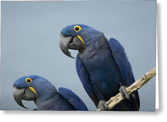 Hyacinth Macaw Greeting Cards - Hyacinth Macaws At The Sedgwick County Greeting Card by Joel Sartore