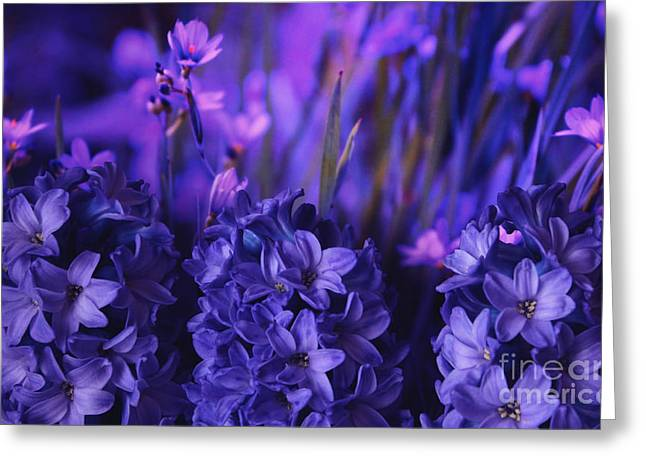Spring Bulbs Greeting Cards - Hyacinths  Greeting Card by Marjorie Imbeau