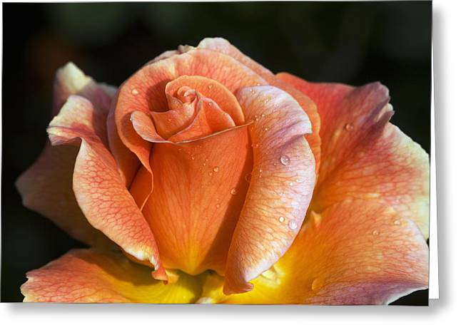 Dewdrops Greeting Cards - Hybrid Tea Rose (rosa can-can) Greeting Card by Georgette Douwma