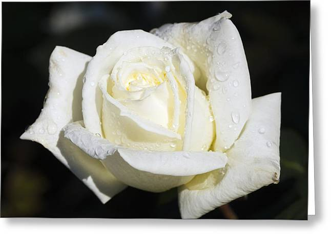 Dewdrops Greeting Cards - Hybrid Tea Rose (rosa polar Star) Greeting Card by Georgette Douwma