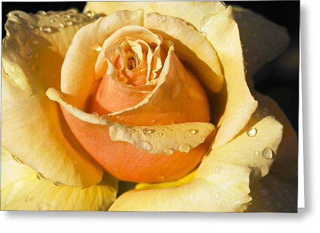 Moist Greeting Cards - Hybrid Tea Rose (rosa royal Parks) Greeting Card by Georgette Douwma