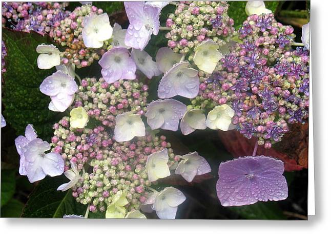 Dew Covered Flower Greeting Cards - Hydrangea Greeting Card by Angie Vogel